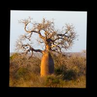 Baobab de Madagascar.
