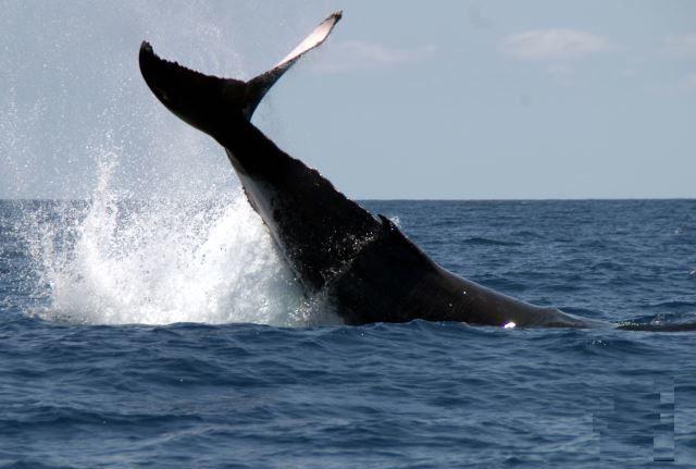 Baleine à bosse à Madagascar.