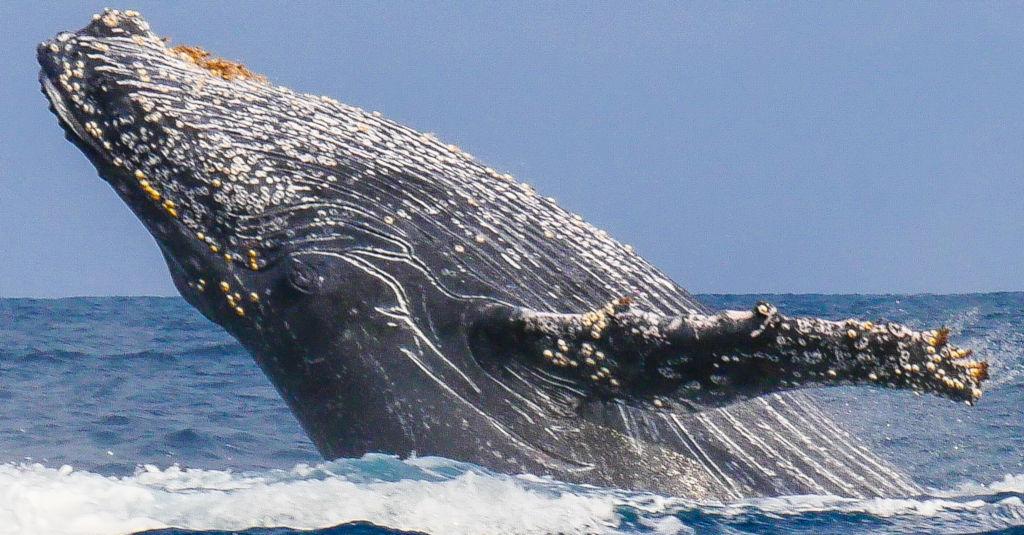 Baleines â bosses et requins baleines à Madagascar.