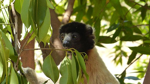 Lémurien de Madagascar.