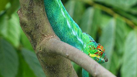 Caméleon de Madagascar.