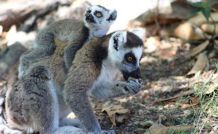 Femelle lémurien de Madagascar et son bébé.