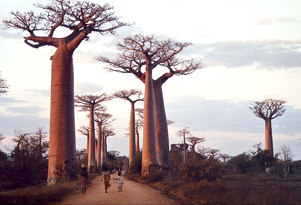 Baobabs à Madagascar.