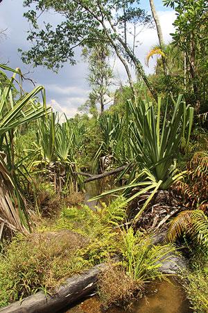 Jungle à Madagascar.