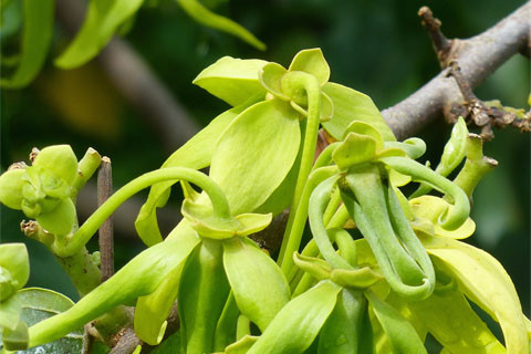 Une plante de Madagascar.