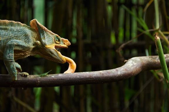 Un caméléon à Madagascar.