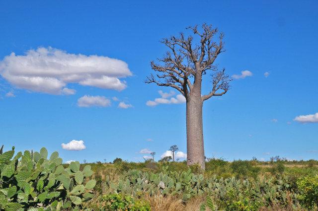 Un baobab à Madagascar.