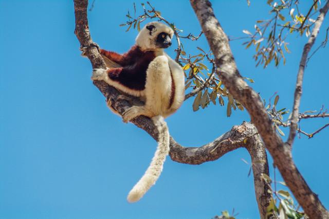 Un lémurien à Madagascar.