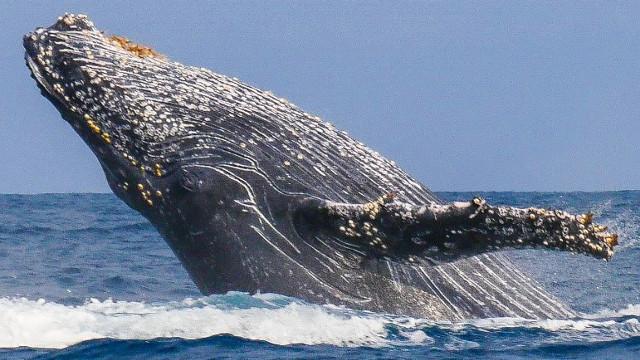 Baleine à Madagascar.